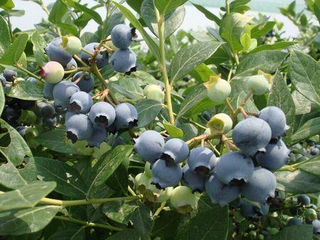 蓝莓 (2)