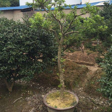 宁波夏鹃盆景2